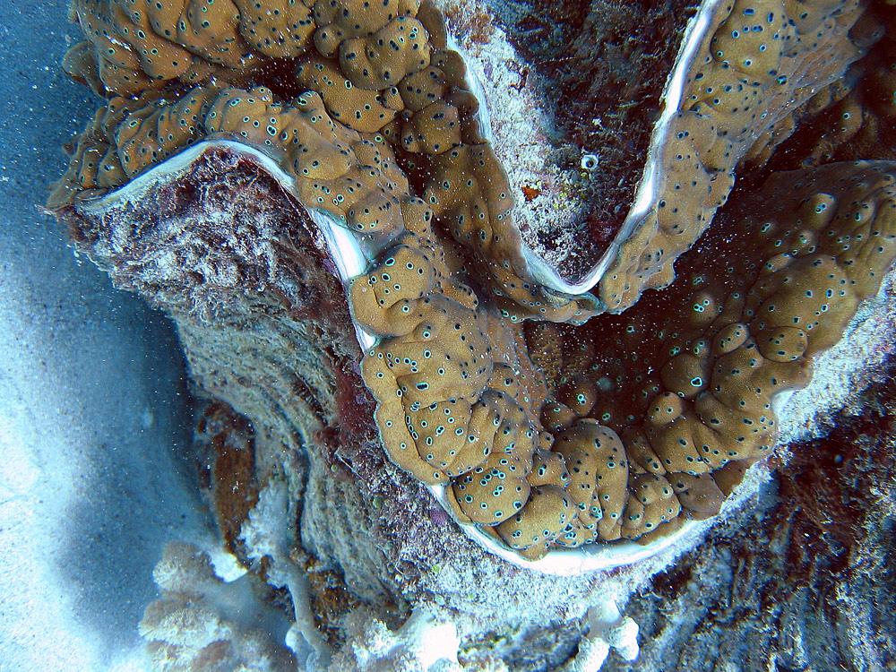 Giant clam eyes - crazywidow.info