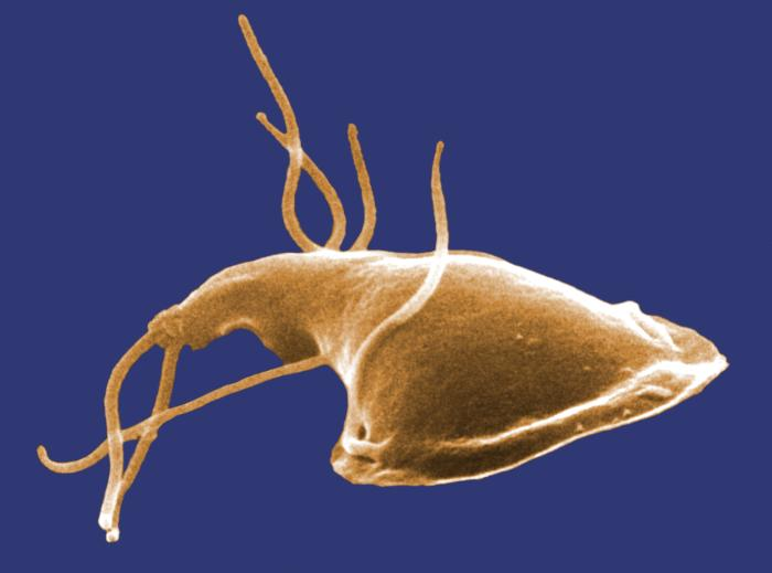 Giardia is inhibited by beneficial bacteria
