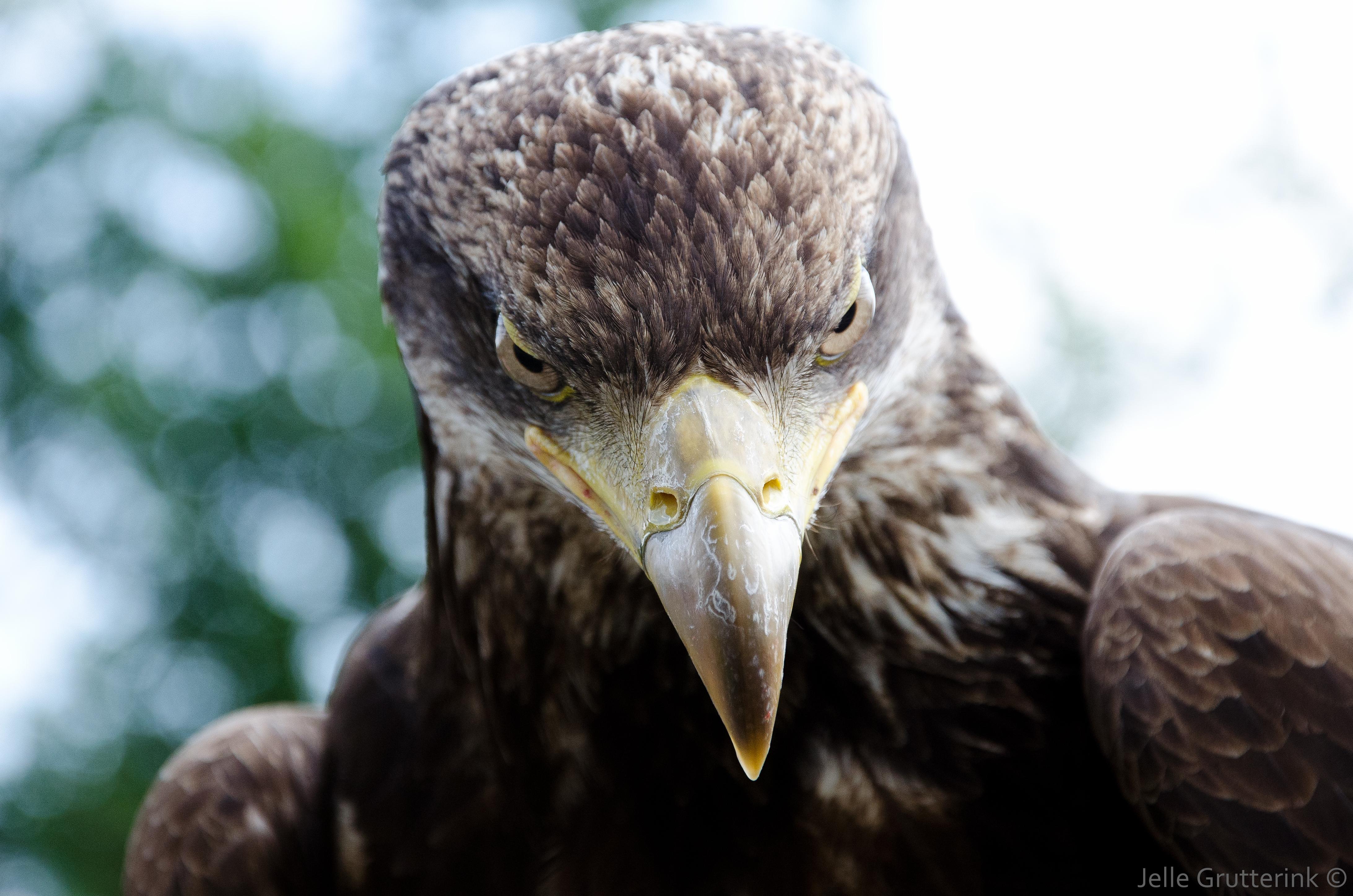 Filegolden Eagle Portrait Jpg