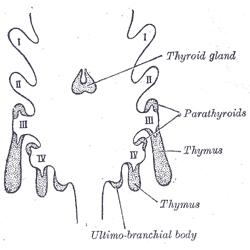 imagenes de tiroides y paratiroides