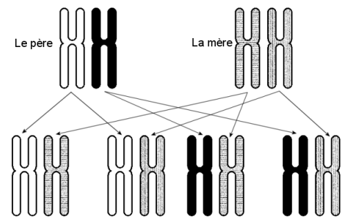 4 combinaisons de chromosomes n° 6 sont possibles