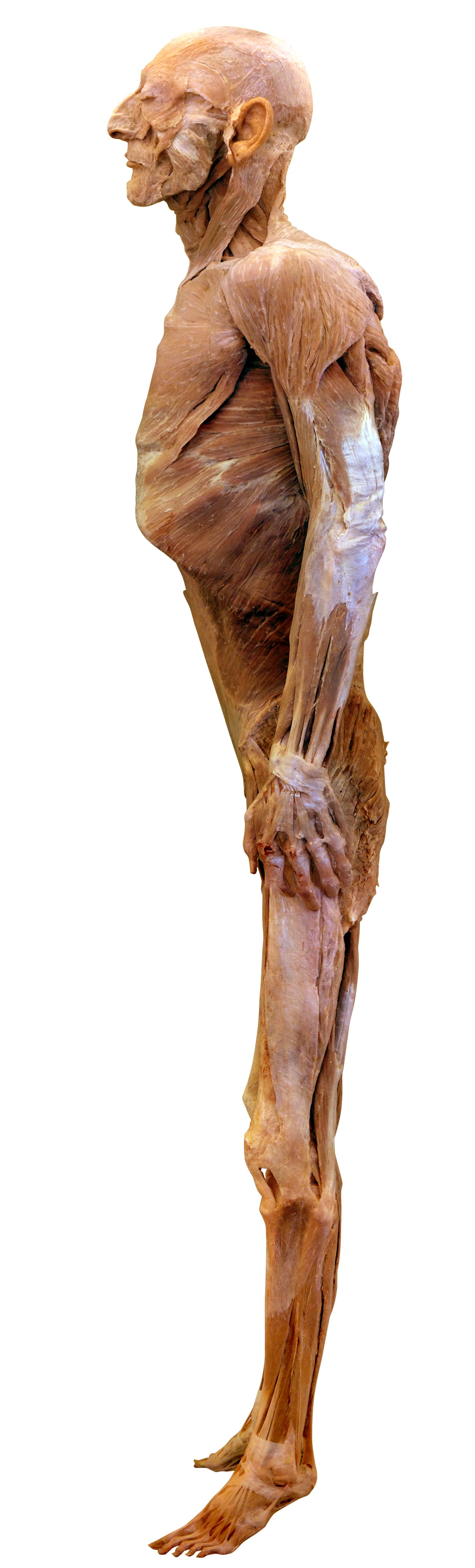 Filehuman Body Without Skin 4657g Wikimedia Commons