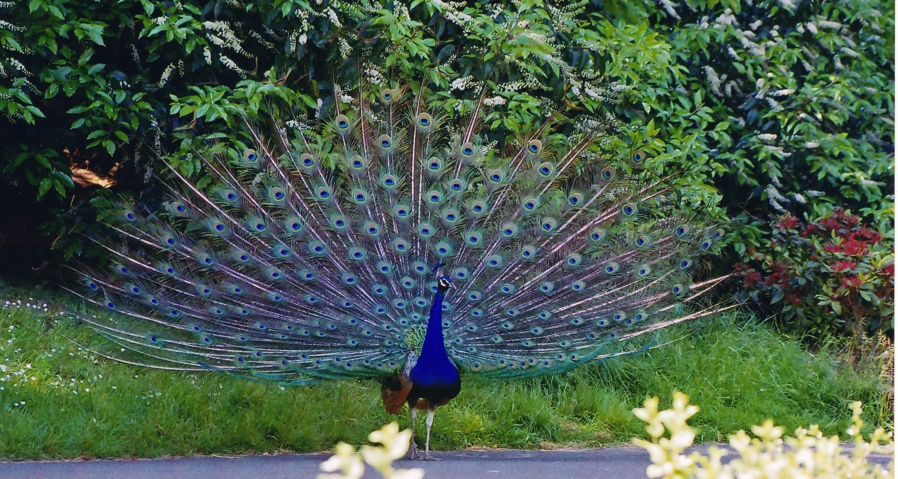 Bankapura Peacock Sanctuary - Wikipedia