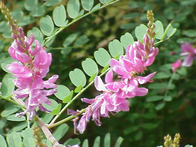 Indigo (Indigofera tinctoria).