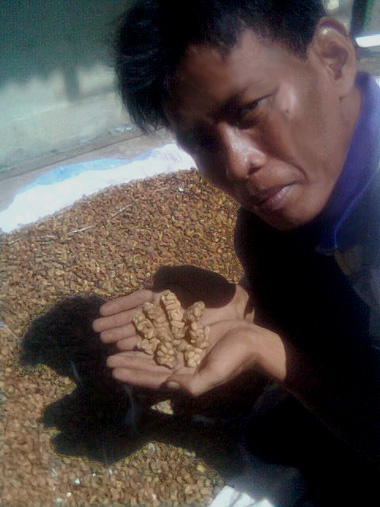 Indonesian farmer holding coffee cherries eaten and defecated by civets