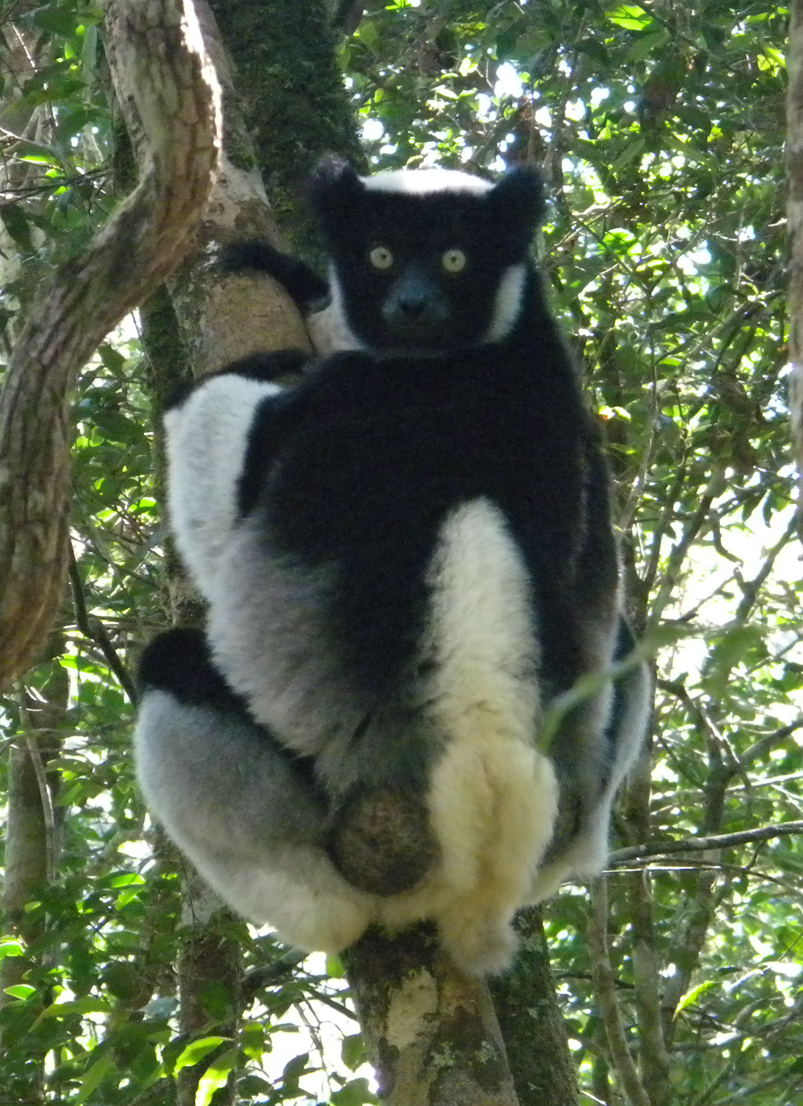 Ring tailed lemurs sexually dimorphic
