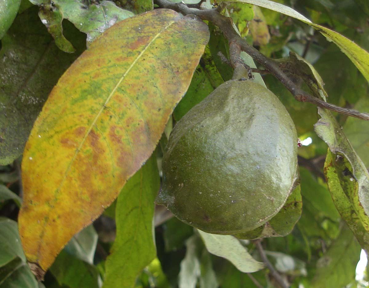 Choix combiné Holzprofi ES320 des avis ? - Page 2 Inocarpus_edulis%2C_fruit