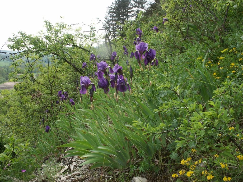 Iris botanica wikipedia for Piante classificazioni inferiori successive
