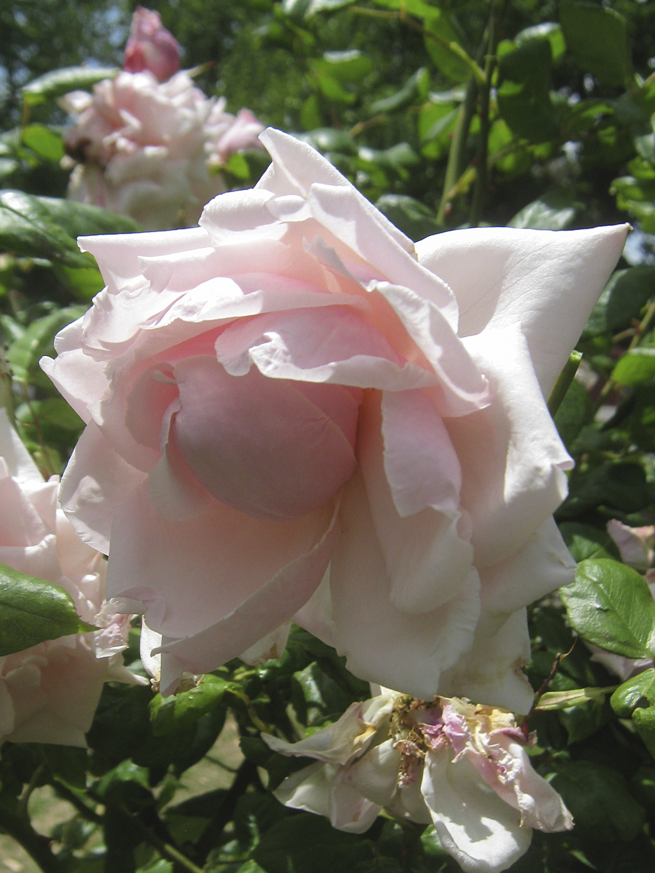 Lady Rose Tea Room Lincoln Menu