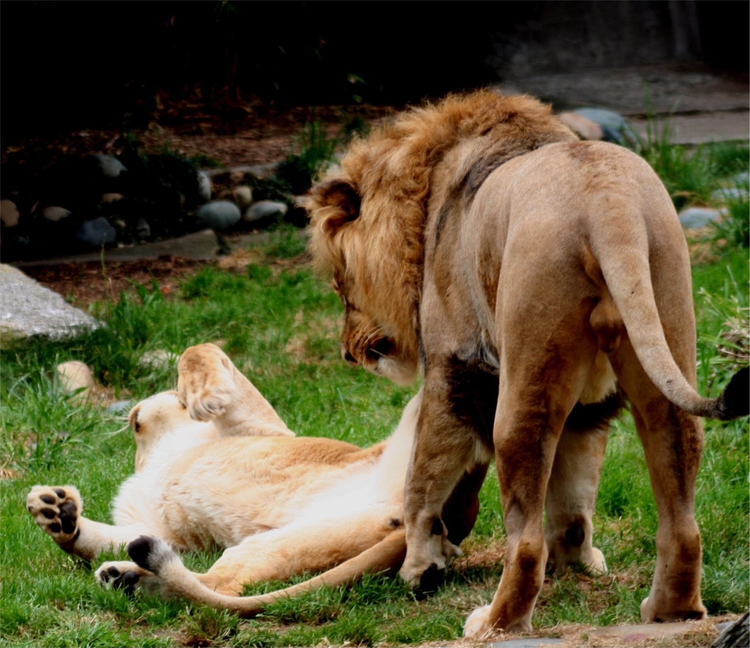 File:Lions in love 2.JPG - Wikimedia Commons