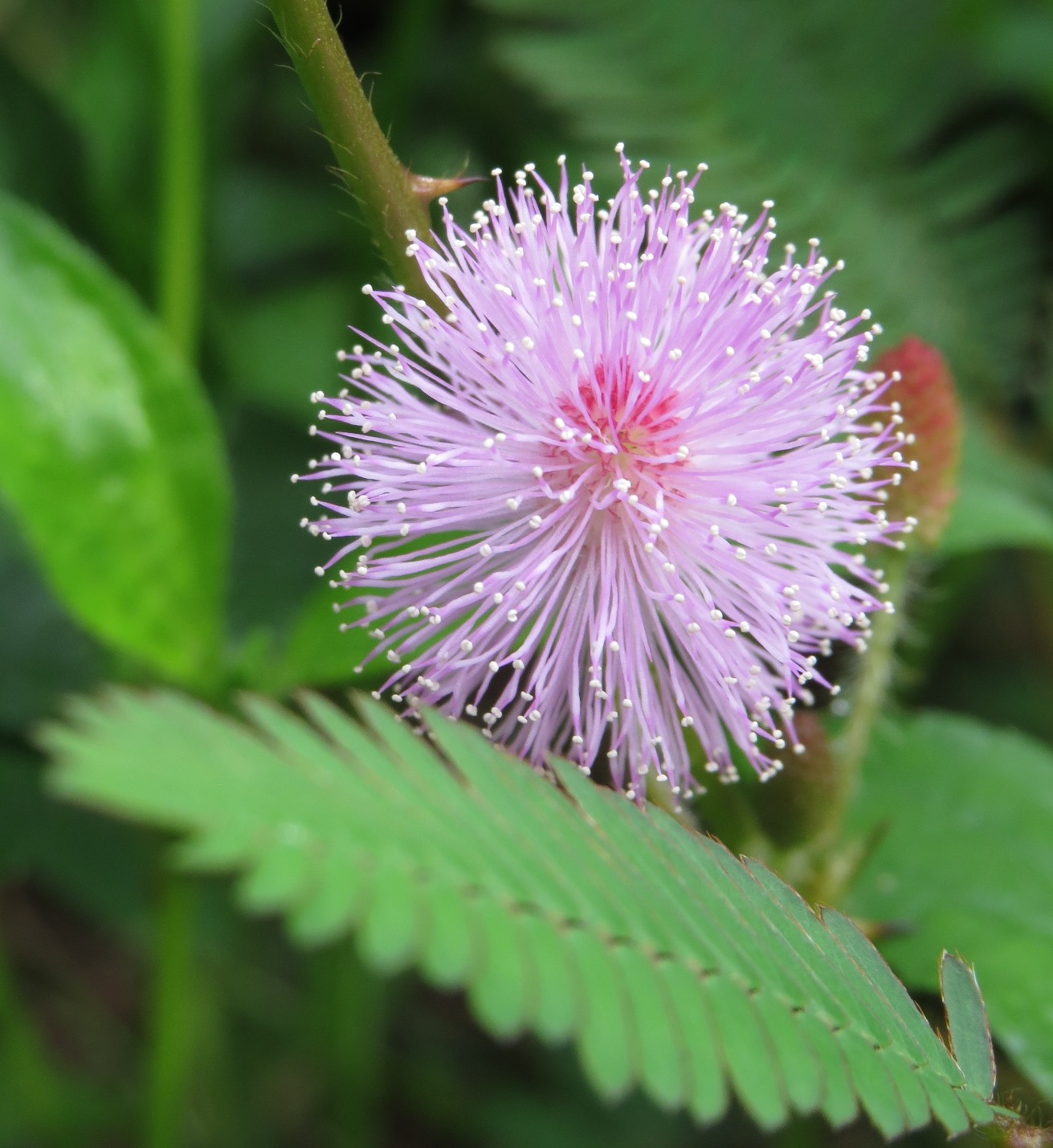 Mimosa pudika flower from Thrissur, Kerala, India.JPG