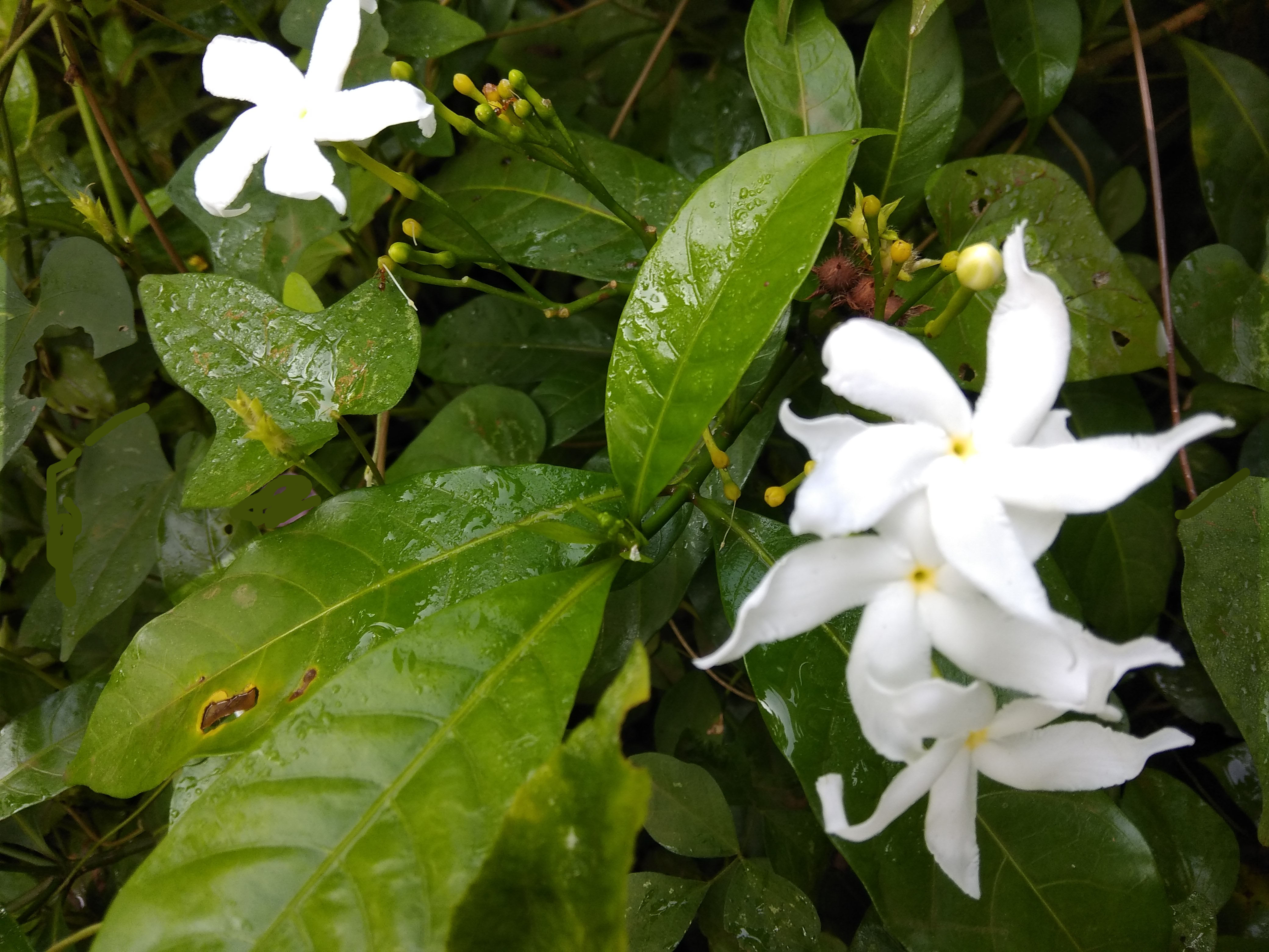Filenandibattalu crape jasmine flowering plant closer viewg crape jasmine flowering plant closer viewg izmirmasajfo