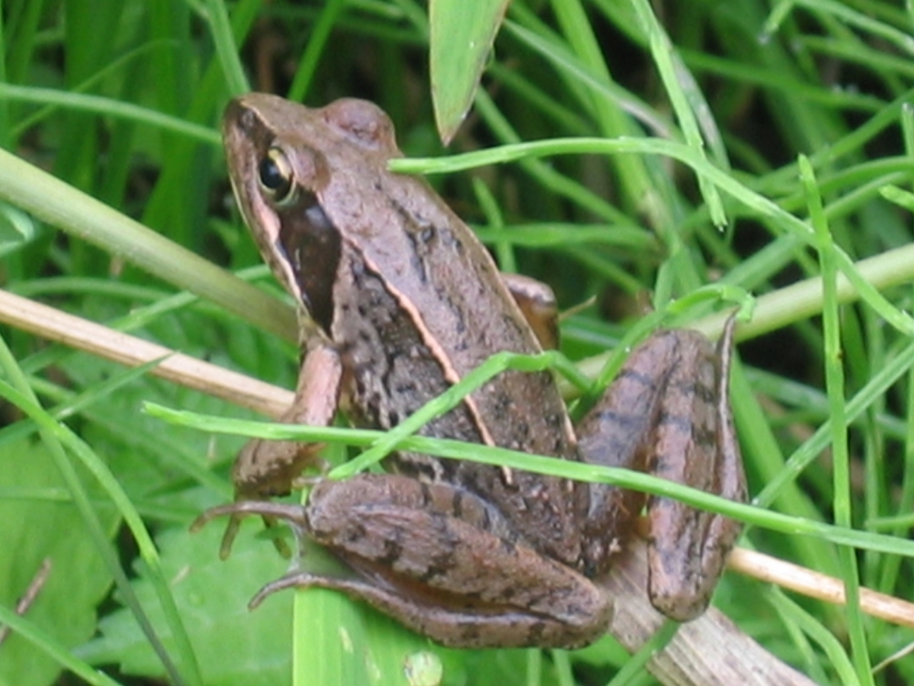 Japanese brown frog - ...