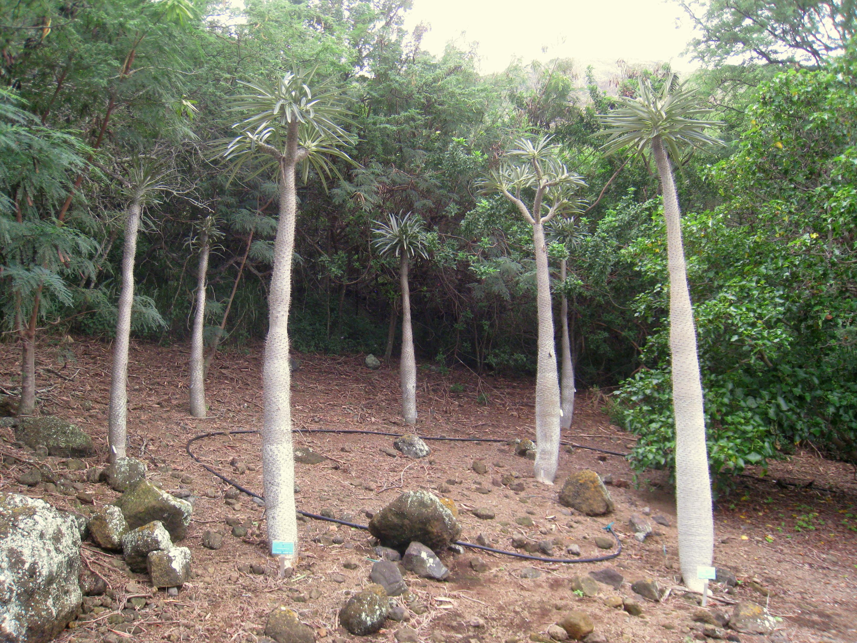 File Pachypodium Geayi Koko Crater Botanical Garden