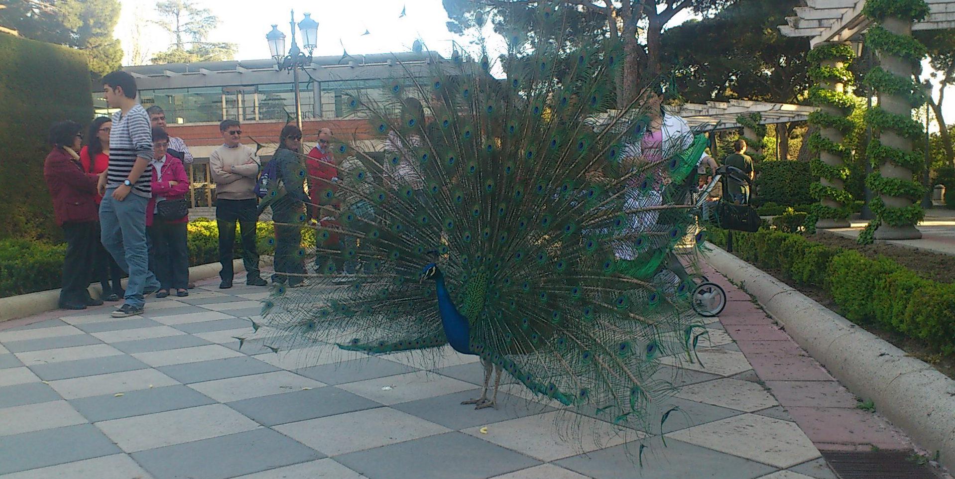 File pavo real en los jardines de cecilio rodr guez abril for Jardines cecilio rodriguez