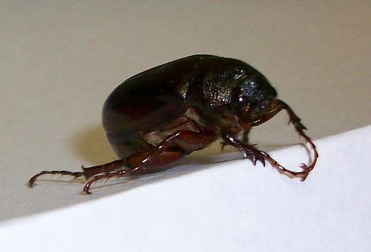 File:Phyllophaga commonjunebeetle.jpg