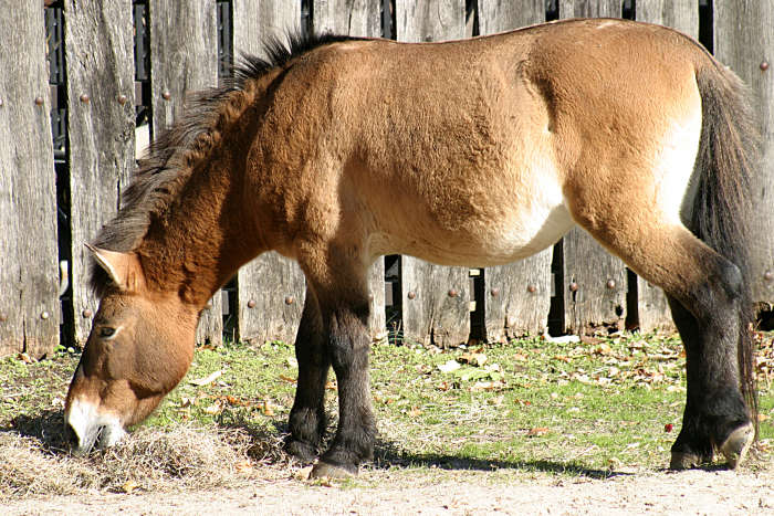 Prževalski hobune Przewalskis-horse-036437