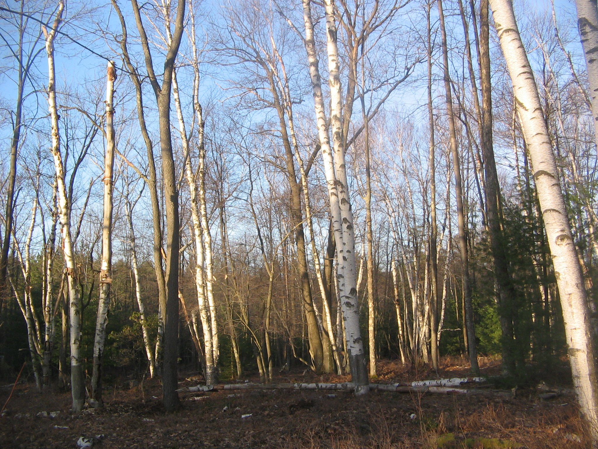 File:Quehanna Birches.jpg - Wikimedia Commons