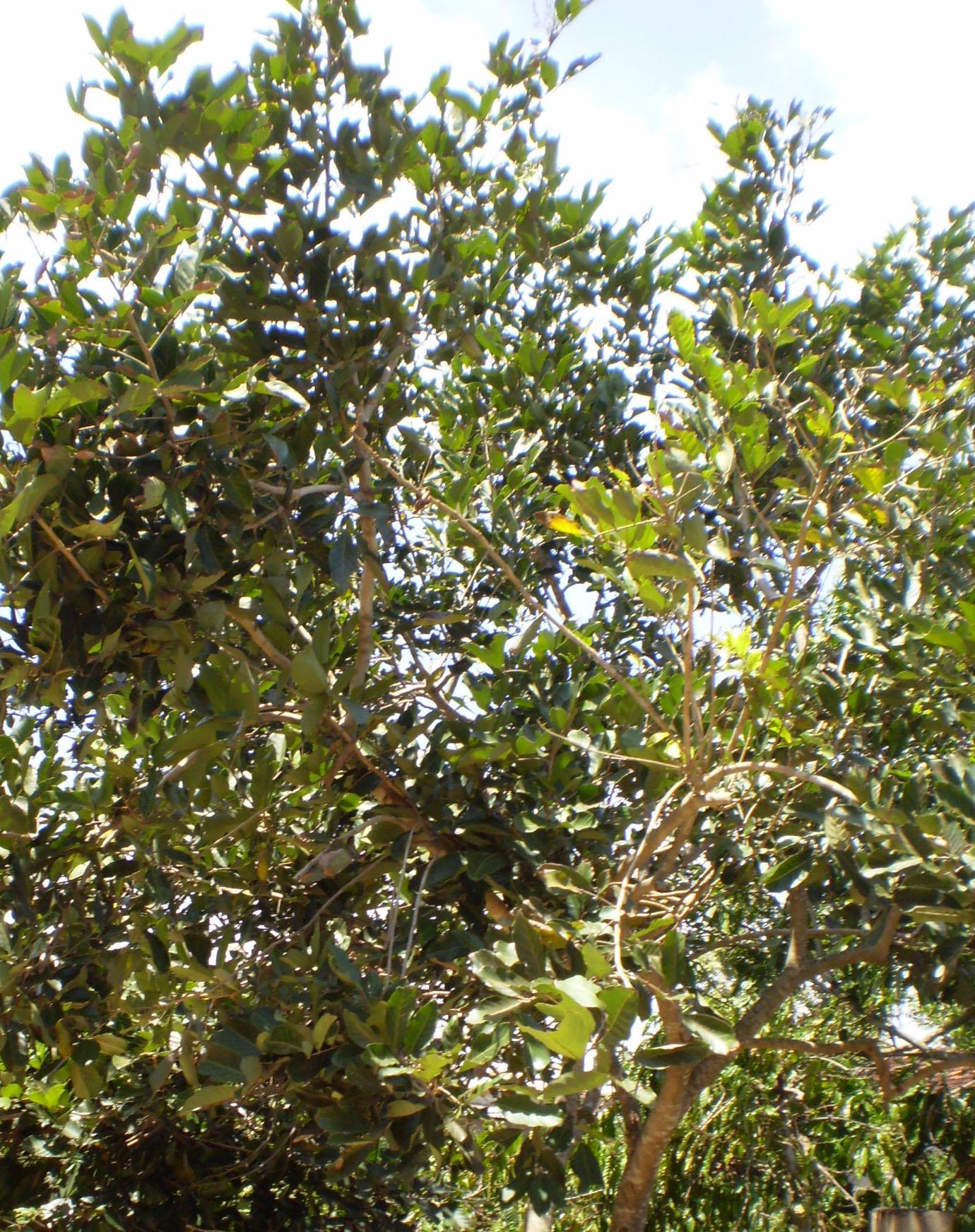 File:Rambutan tree.jpg - Wikimedia Commons