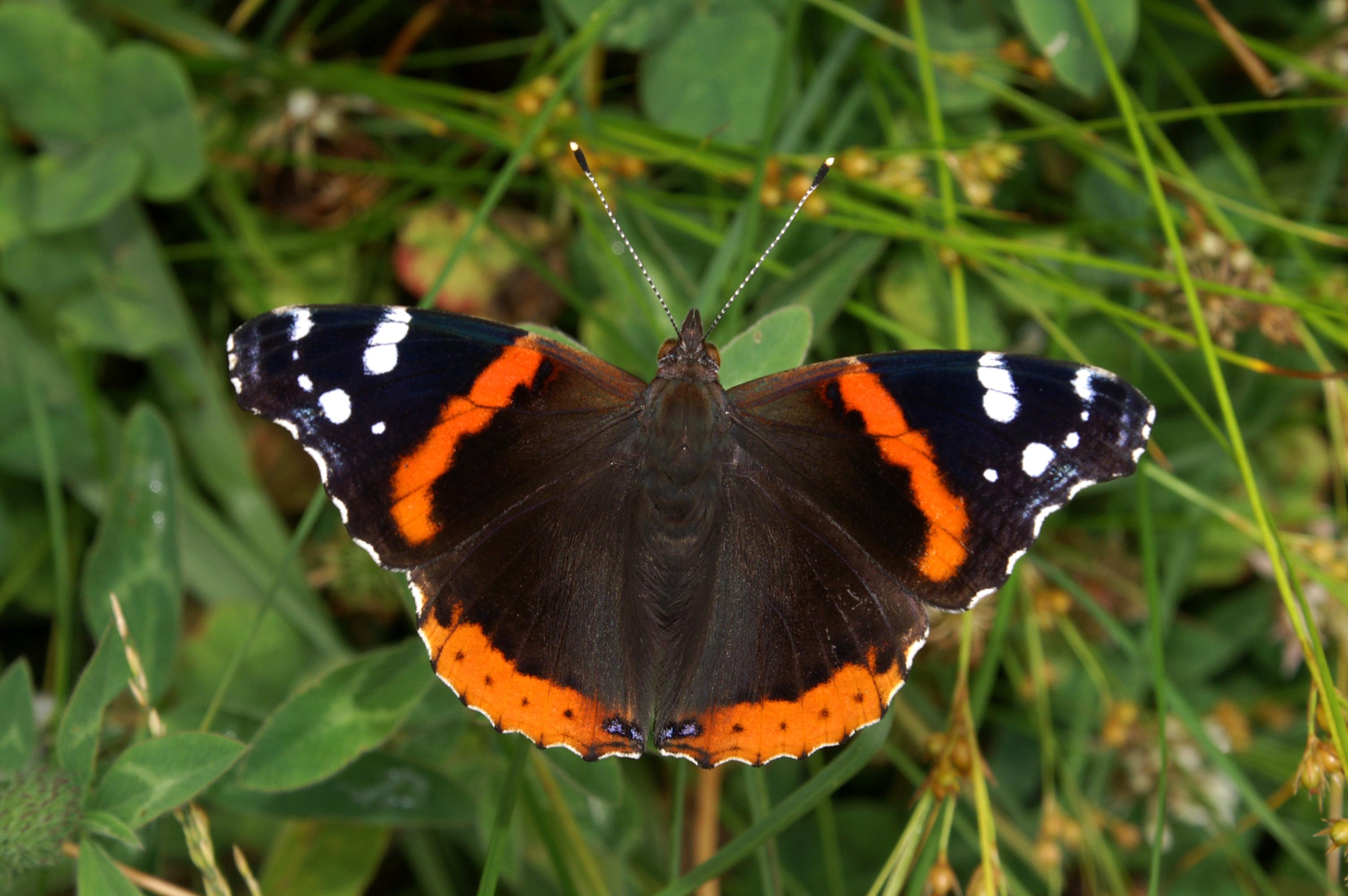 File:Red Admiral 7330c.jpg - Wikimedia Commons
