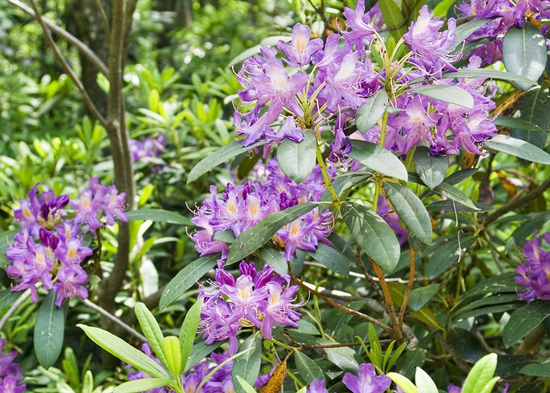 Rhododendron-ponticum-Evgord