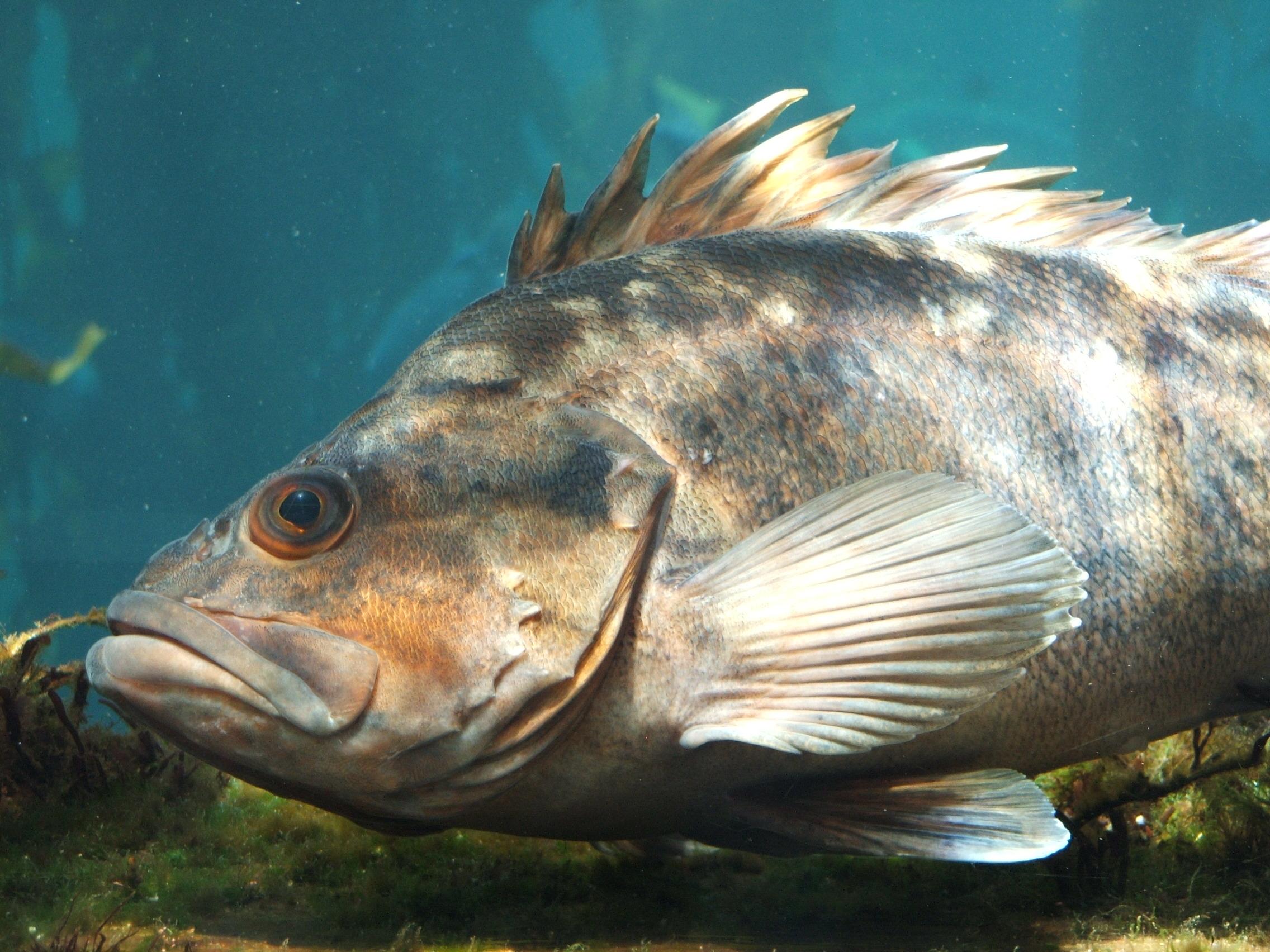 file rockfish sebastes spp wikipedia