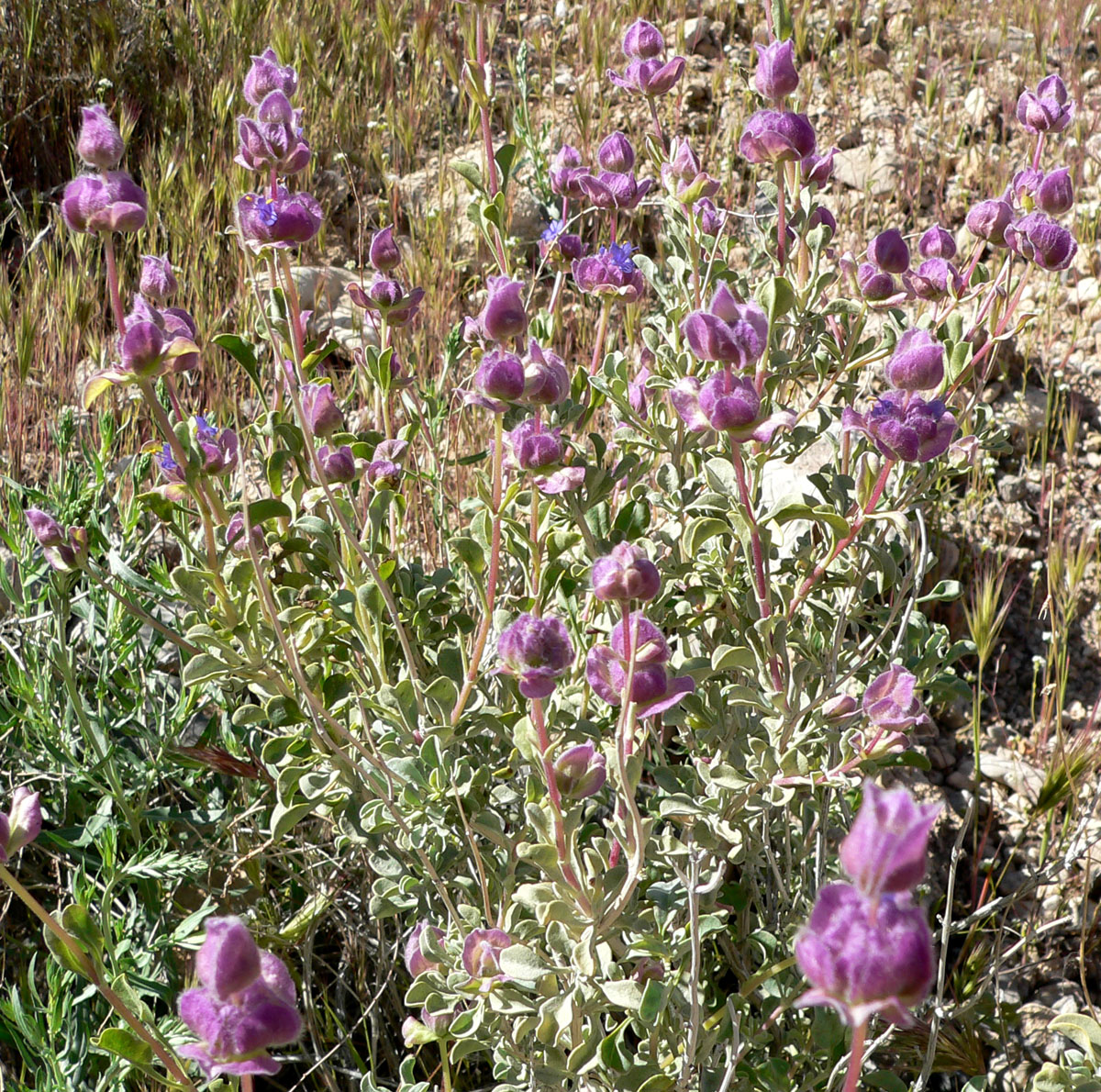 Sage Herb Uses - Sage Health Benefits