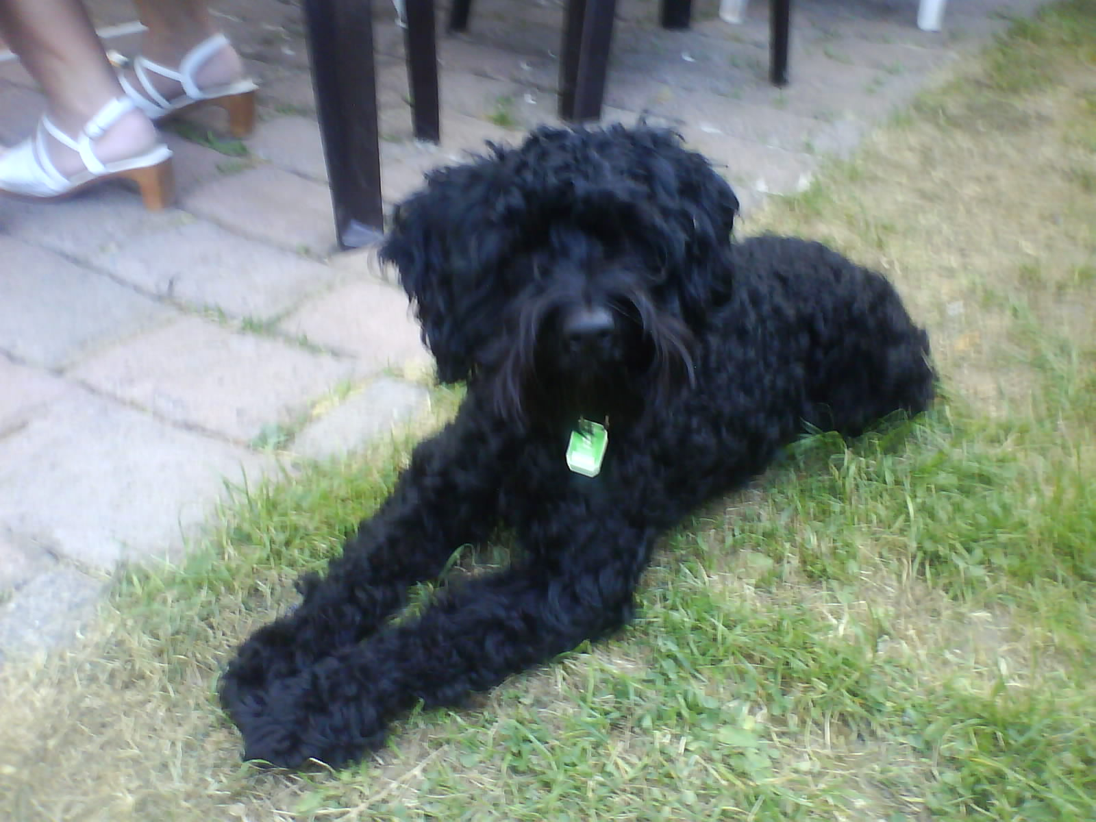 Schnoodle Dogs For Sale Uk