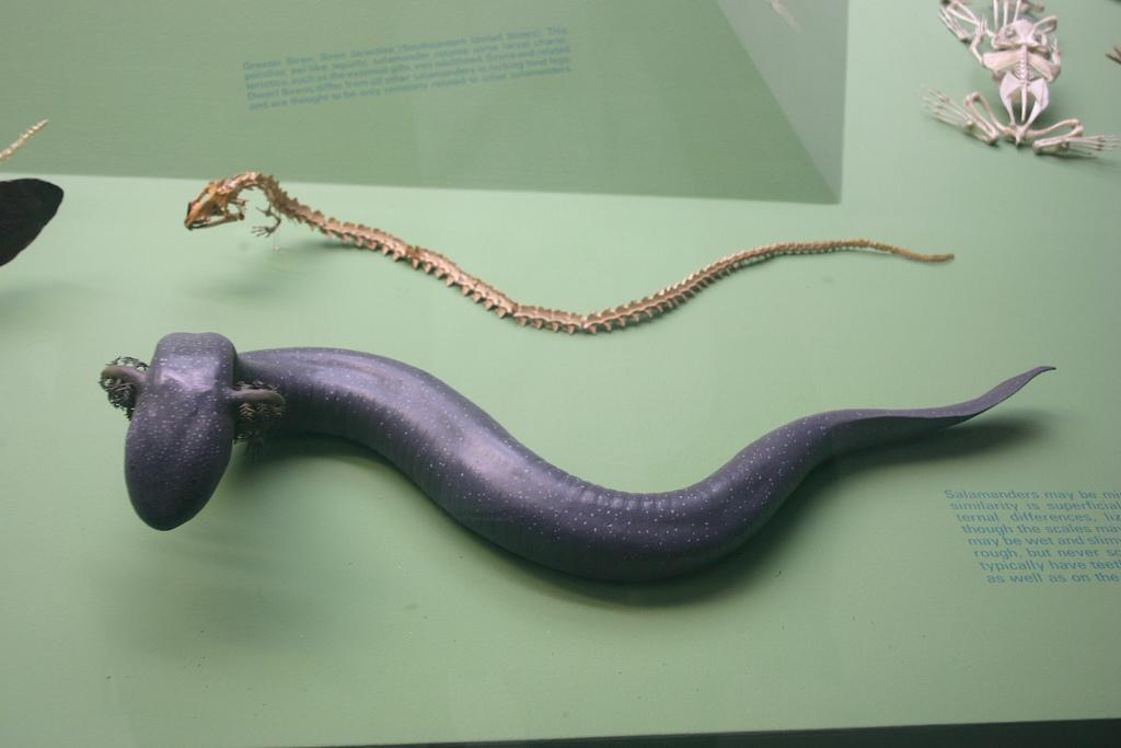 File:Siren lacertina skeleton jpg - Wikimedia Commons