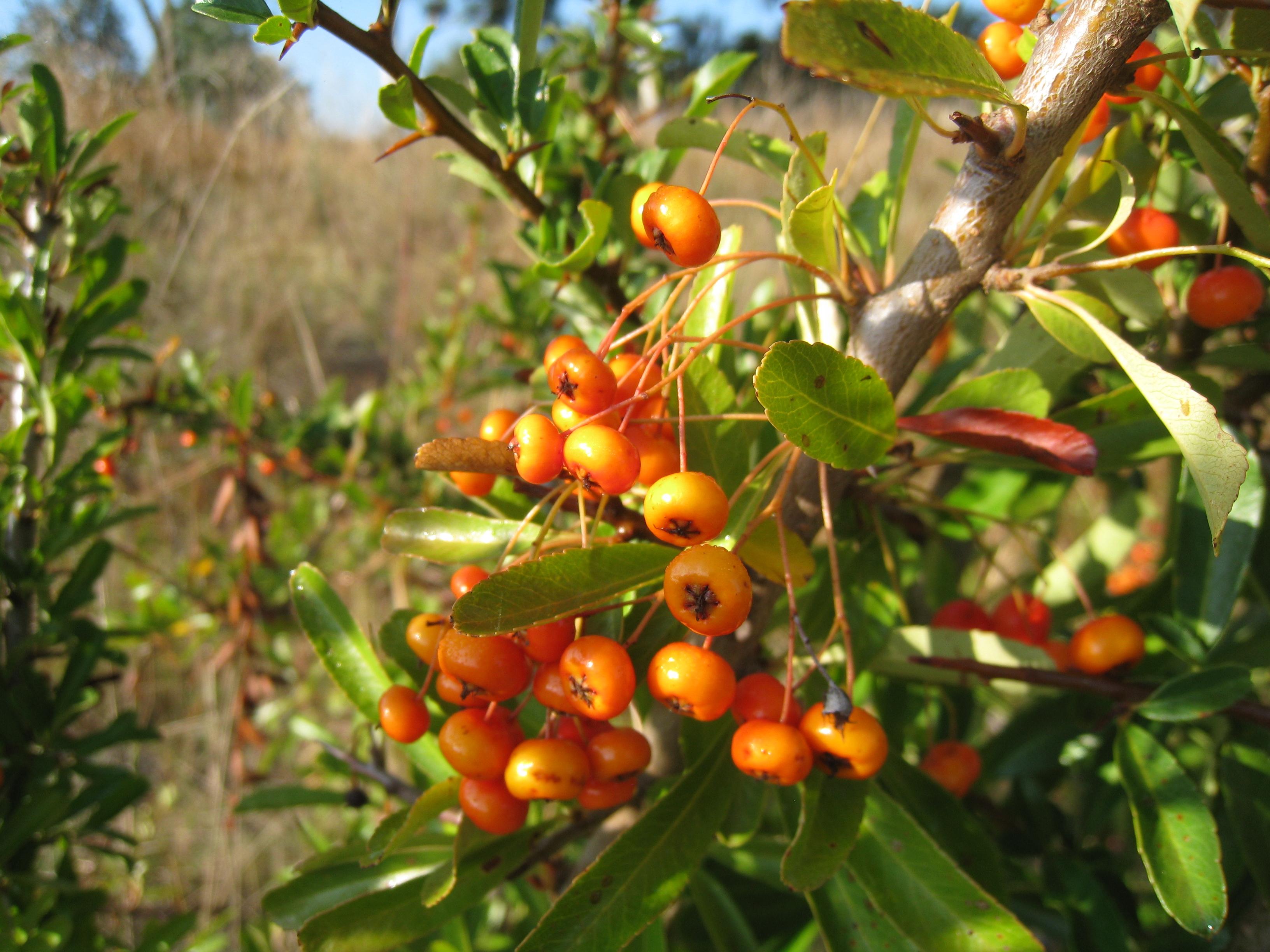 File Spiky Bush With Orange Berries 5585055400 Jpg Wikimedia