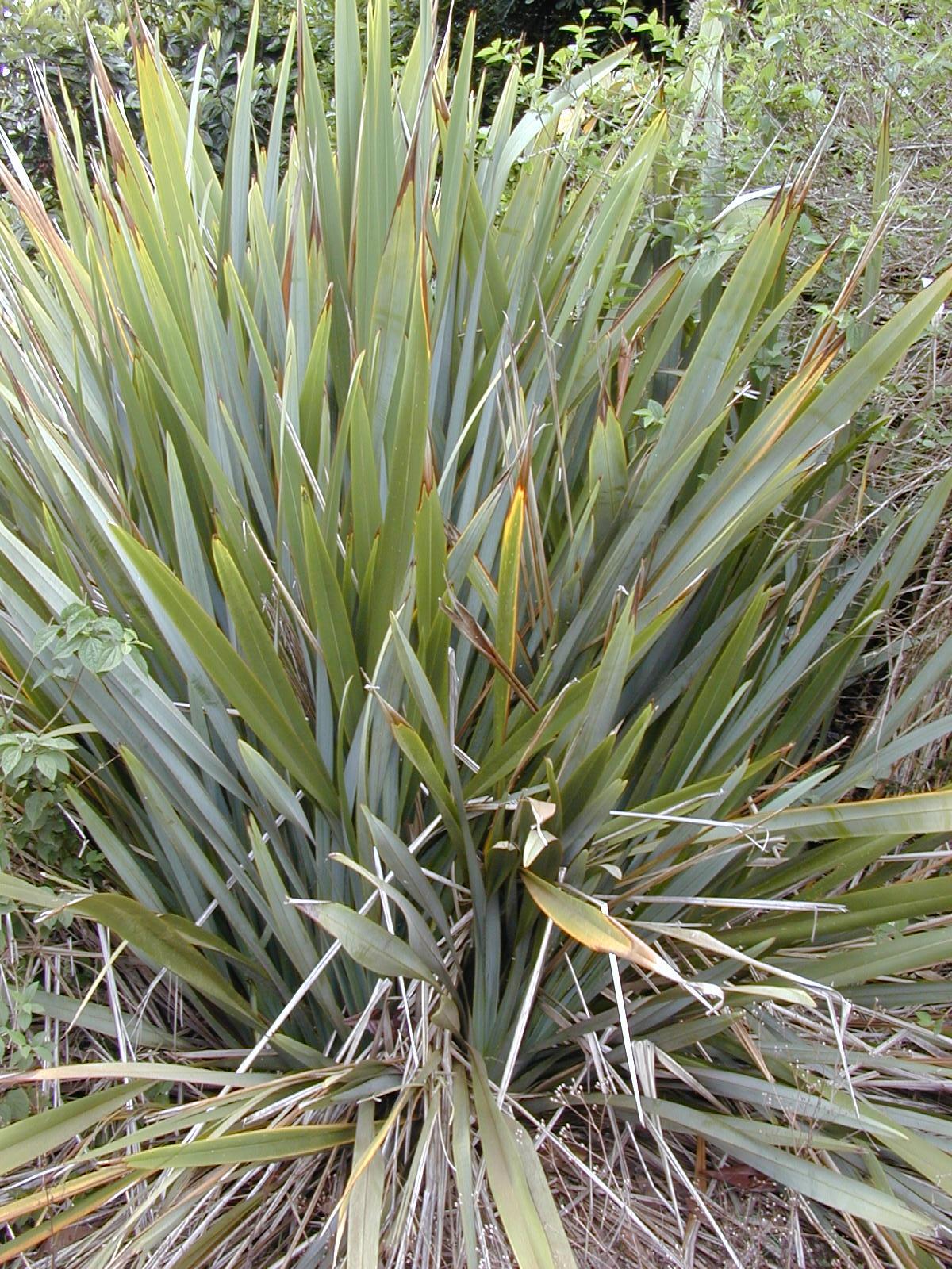 Phormium for Yucca exterieur