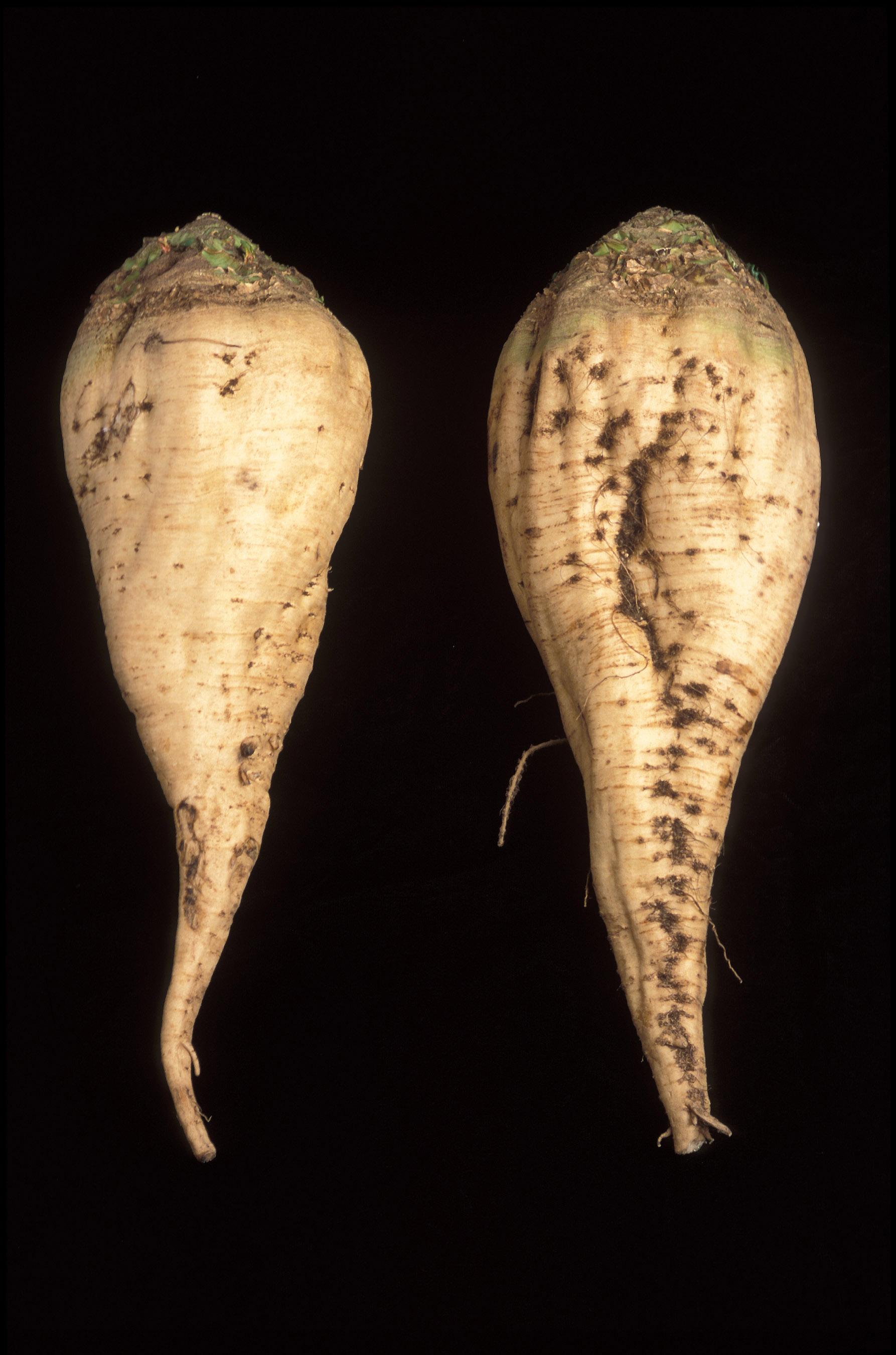 Die Zuckerrübe (Quelle: Wikipedia)