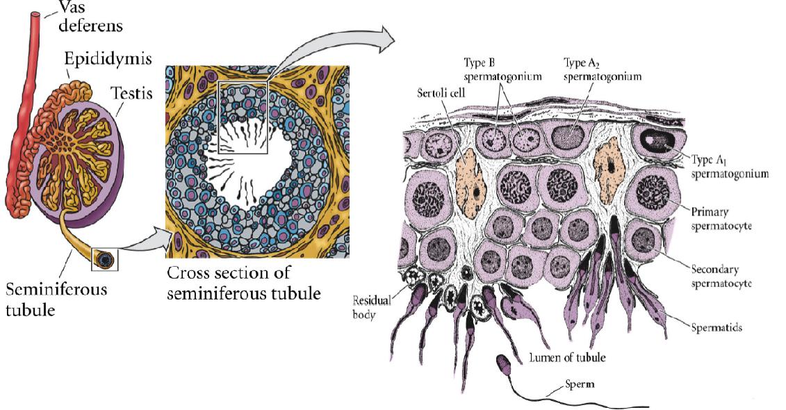 tubulos-seminiferos-espermatozoides