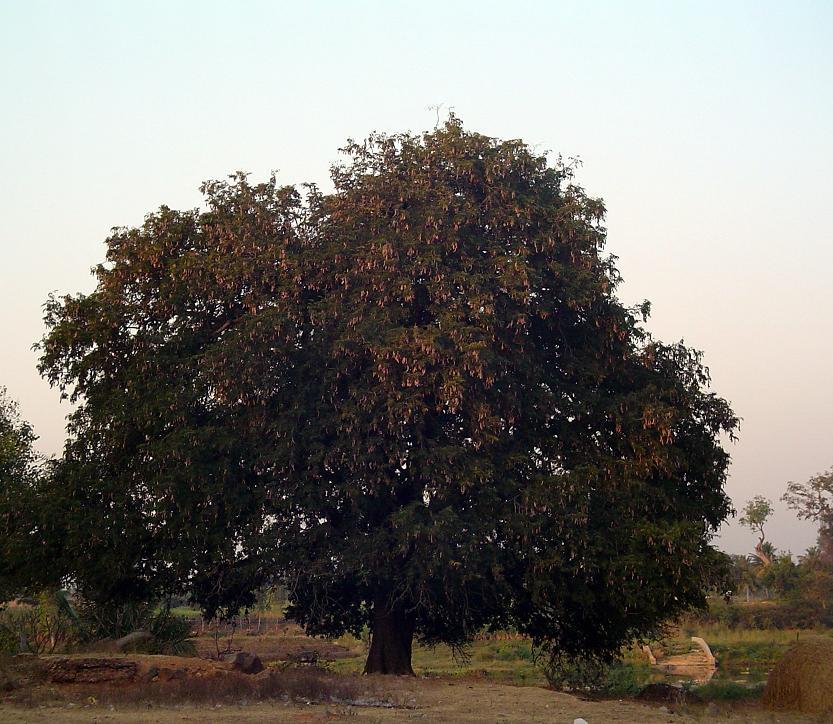 filetamarind tree  wikimedia commons, Beautiful flower