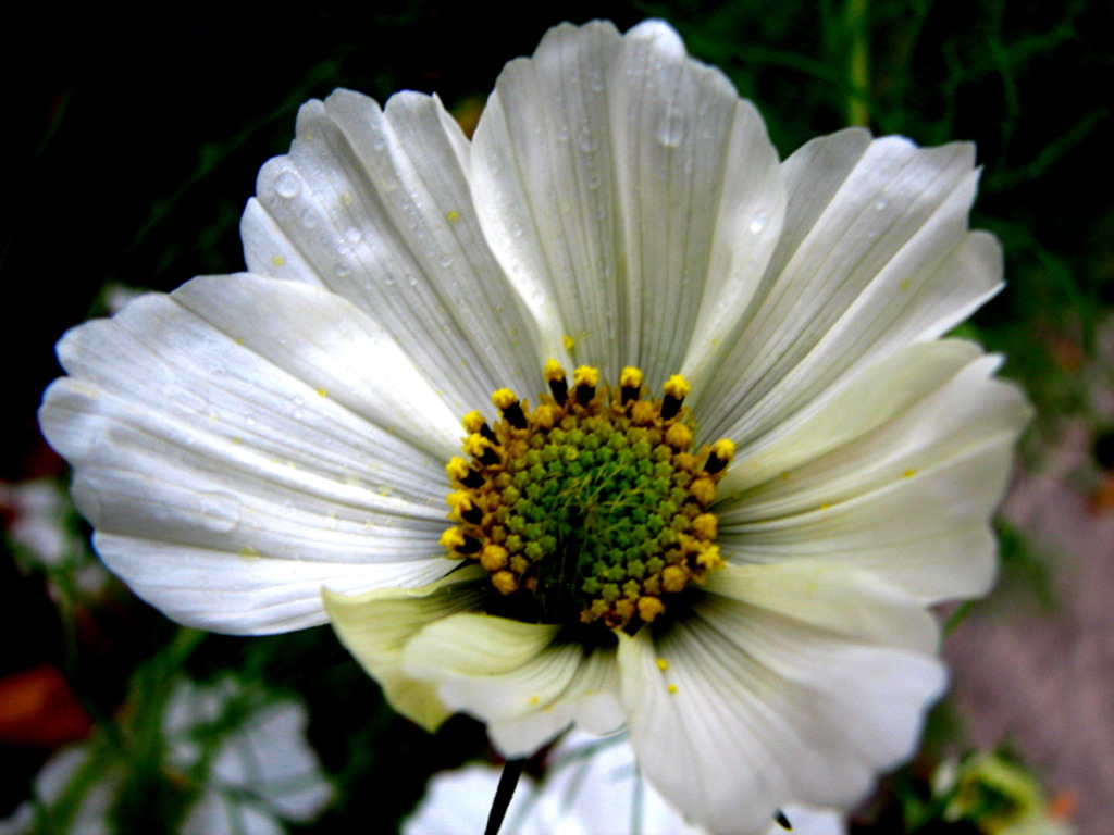 File:White Cosmo (276840491).jpg - Wikimedia Commons