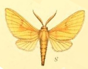 <i>Automolis</i> genus of insects