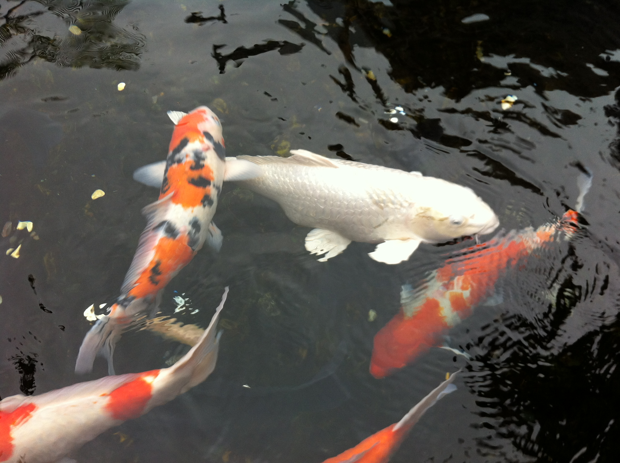 Painting realistic koi fishes and water using mypaint for Koi fish in water