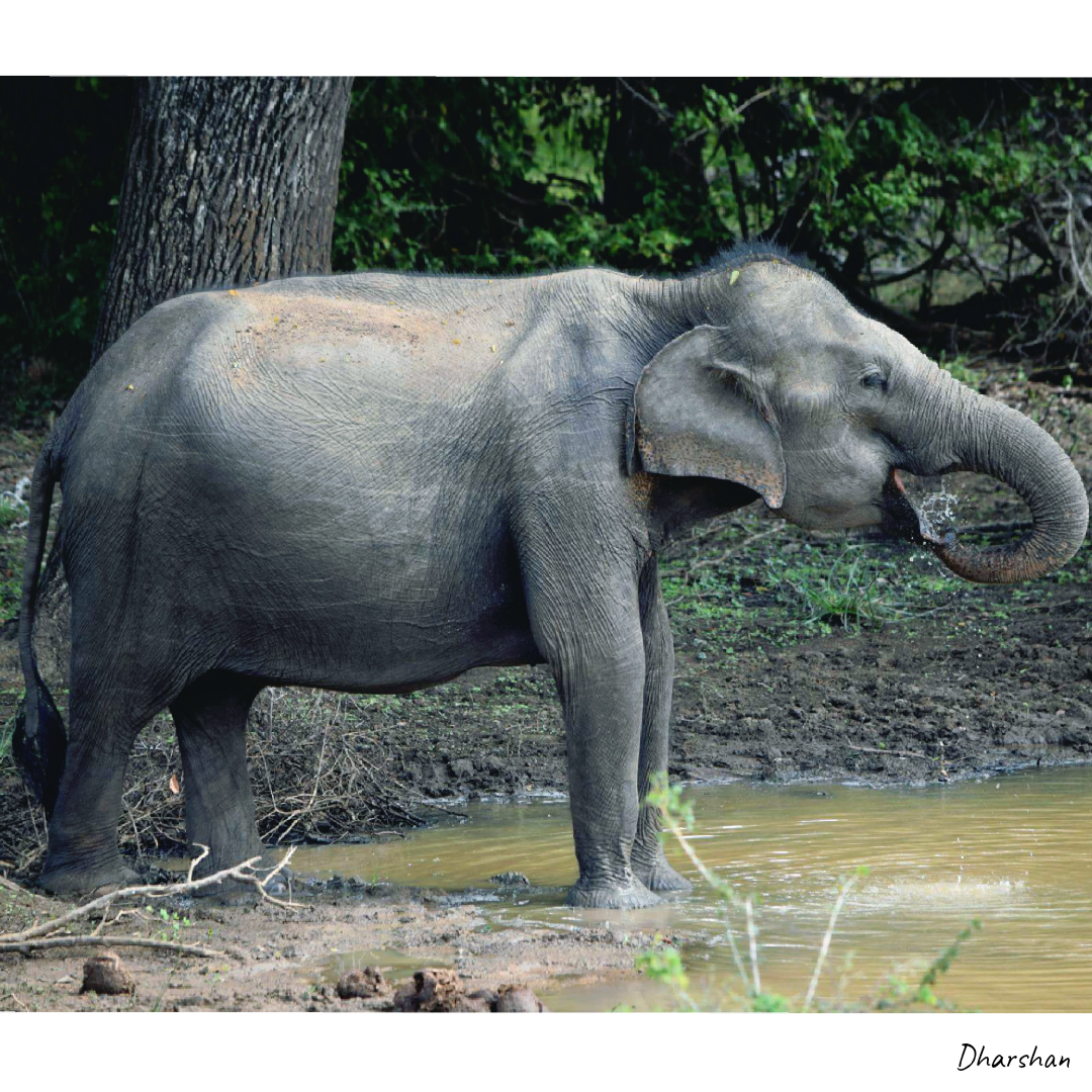 File 20190605 171637 0000 Elephant Png Wikimedia Commons Elephants are large mammals of the family elephantidae and the order proboscidea. https commons wikimedia org wiki file 20190605 171637 0000 elephant png
