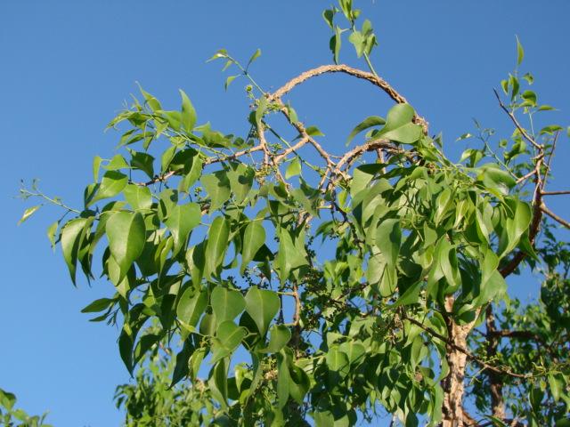 agonandra brasiliensis 2.jpg