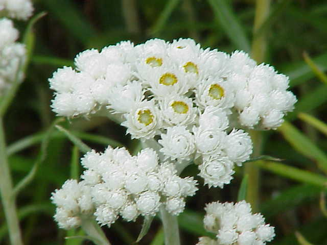 immortelle panicule en fleur blanche