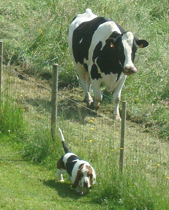 File:Basset-hound With A Cow.jpeg