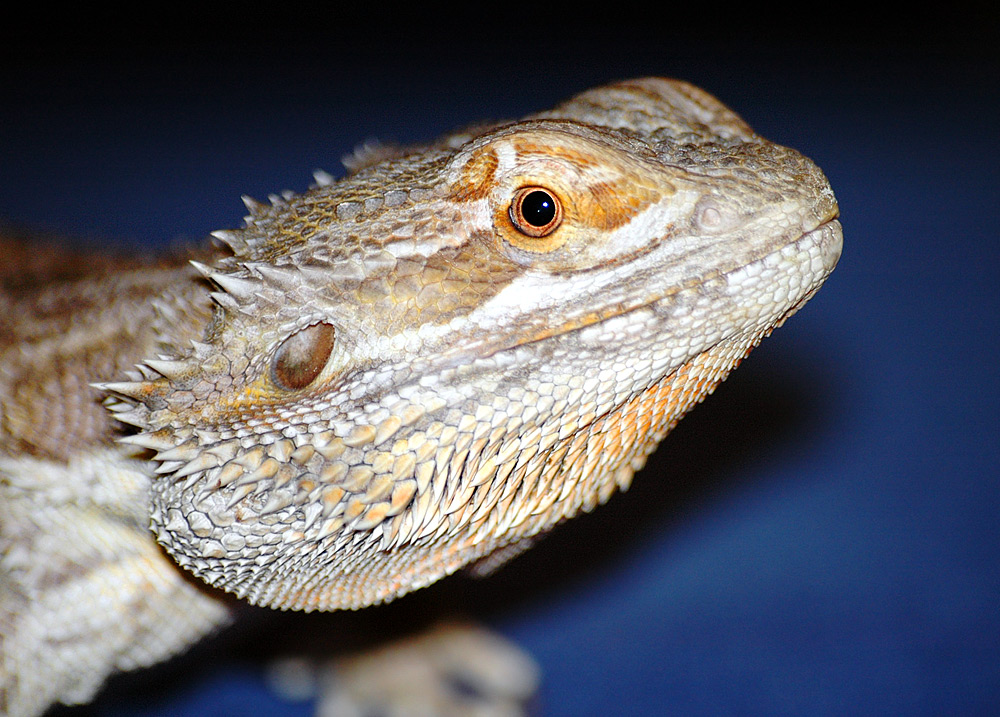 full grown fancy bearded dragon
