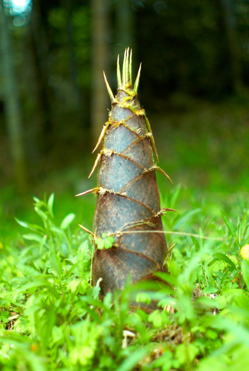 https://upload.wikimedia.org/wikipedia/commons/8/84/Big_Bamboo_Shoot_%28Joi_Ito%29.jpg