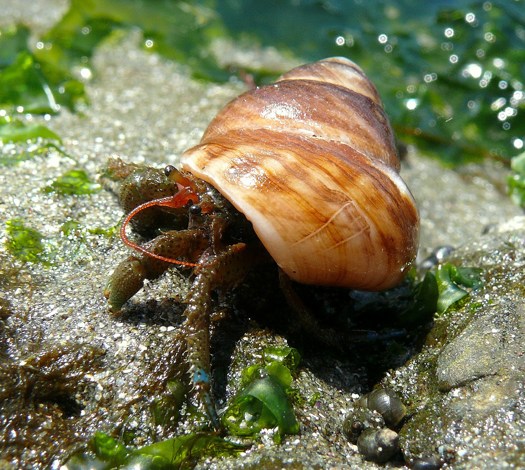 Blue Land Hermit Crab File:blue-banded Hermit Crab
