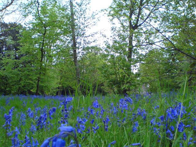 Bluebells-Wanstead Park - geograph.org.uk - 787467
