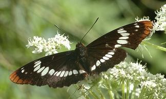 Berkas:Buberel butterfly.jpg