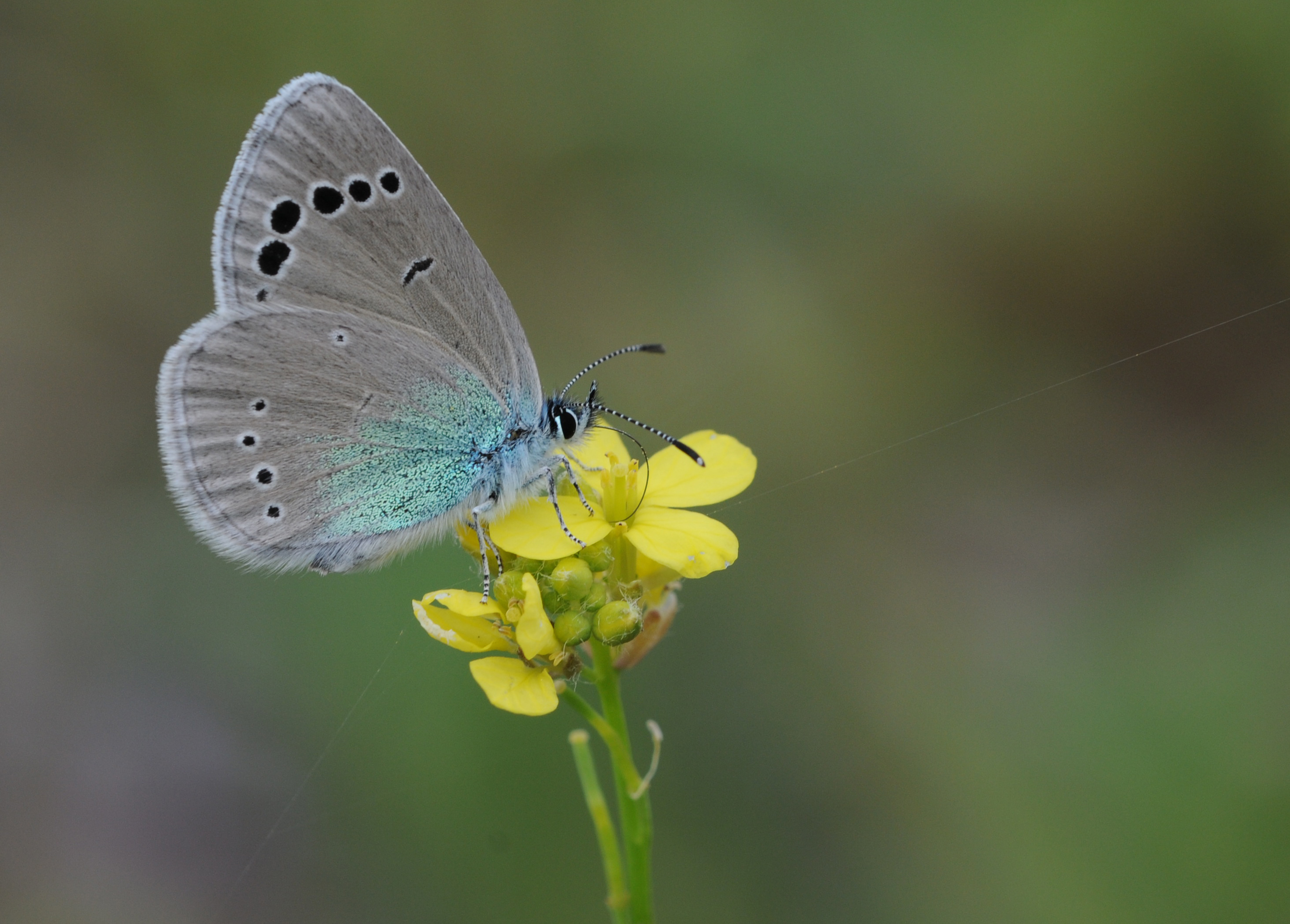 Sưu tập Bộ cánh vảy 3 - Page 38 Butterfly_Green-underside_Blue_-_Glaucopsyche_alexis_1