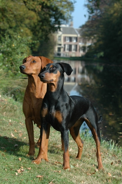 German pinscher temperament