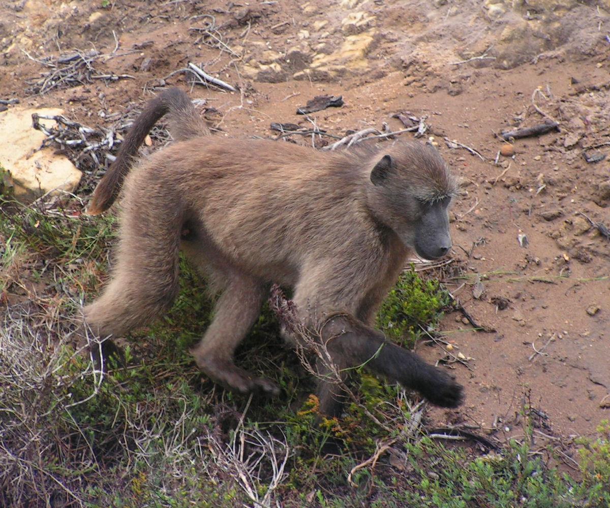 Chacma baboon - photo#6