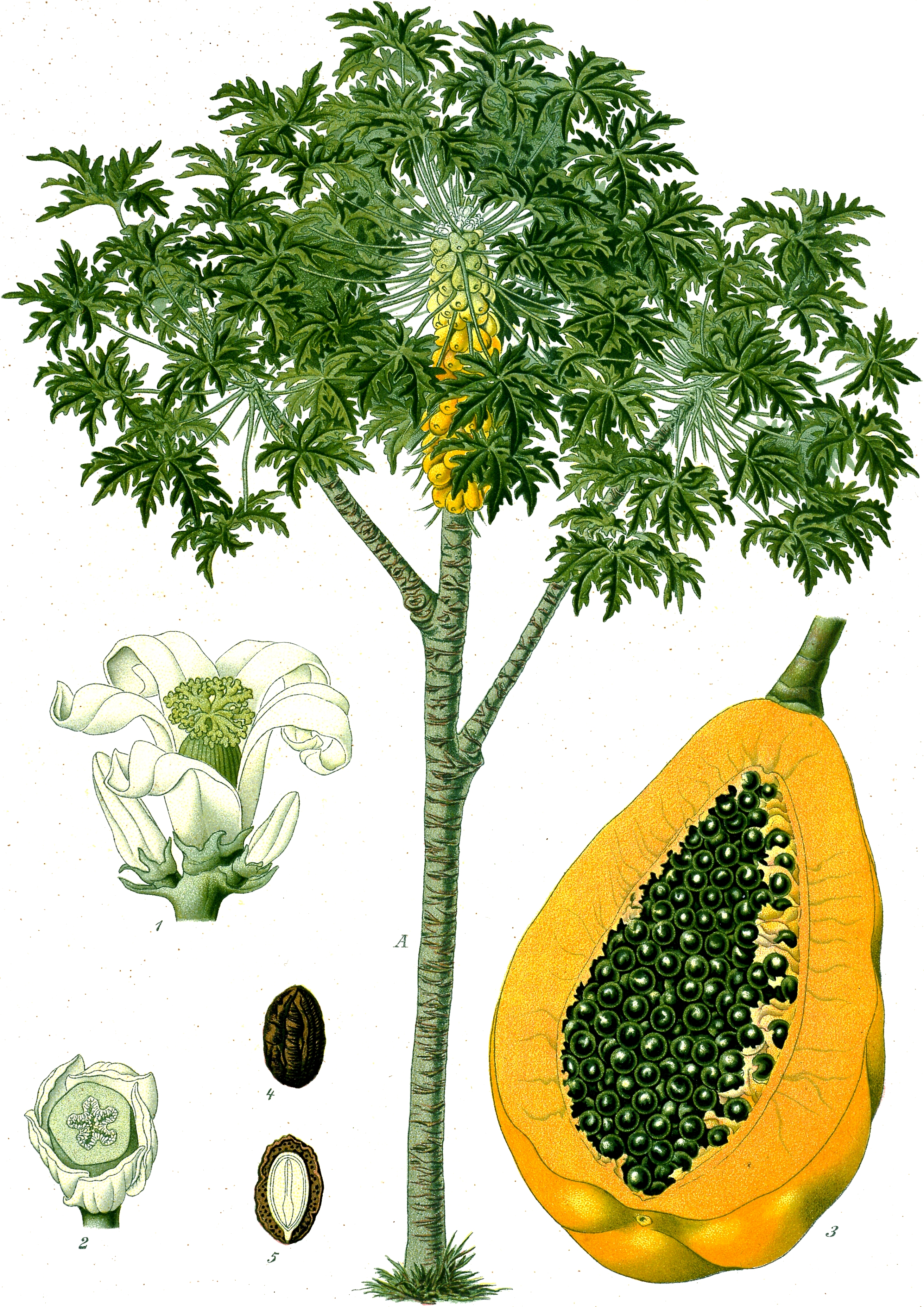 Papaya tree and fruit, from Koehler's Medicinal-Plants (1887)